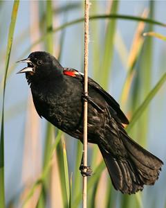 Red-wing Blackbird, Brazil Lagoons, May 19, 2007.