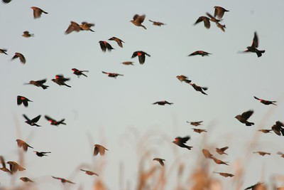 Redwing Fall Migration, Oct 1, 2005, Vigo Co Chinook Mine.