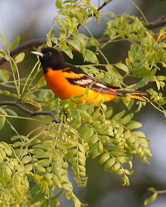 Baltimore Oriole, Tippecanoe River State Park, Pulaski County, Indiana, May 21, 2007.