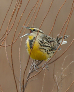 Eastern Meadowlark, Chinook Mine, Vigo County, Indiana, April 2, 2006.