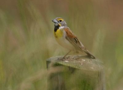 Dickcissel, Chinook Mine, May 2005