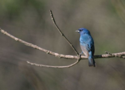 Blue Grosbeak, Tippecanoe Co along Wabash River, May 19, 2005.