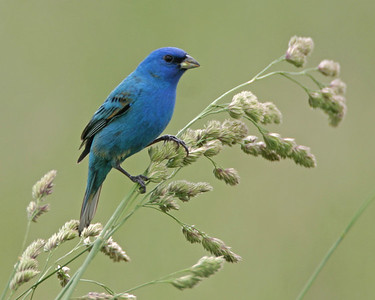 Indigo Bunting, Chinook Mine South, Clay County, Indiana, May 19, 2006