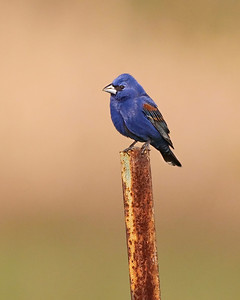 Blue Grosbeak, Universal Mine, Vermillion County, Indiana, May 2011.