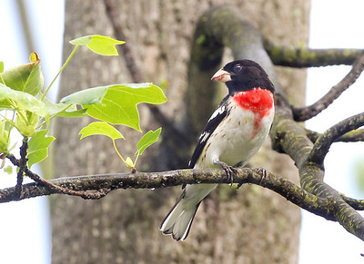 Rose breasted Grosbeak, Vigo County, Indiana, May 4, 2012.