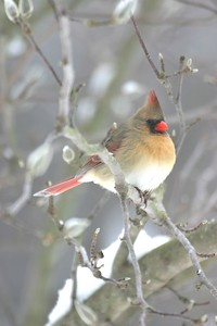 Female Cardinal, Terre Haute, Dec 26, 2004.