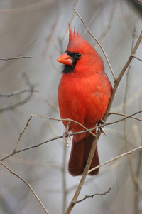 Northern Cardinal, Brazil, Indiana Lagoons, November 25, 2005.