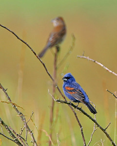 Male Blue Grosbeak with female in the background.  Chinook Mine South, Clay County, Indiana, Summer 2006.