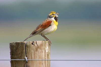 Dickcissel, Chinook Mine, May 22, 2005.