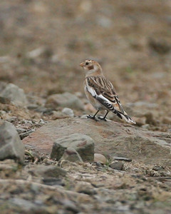 Snow Bunting, Hawthorn Mine, Sullivan County, November 11, 2007
