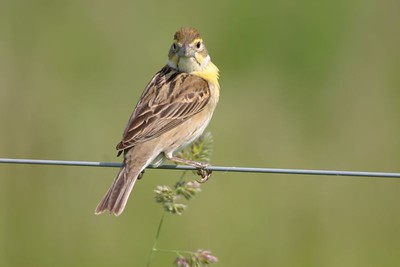 Female Dickcissel, Chinook Mine, May 22, 2005.