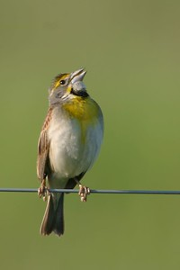 Dickcissel, Chinook Mine, Vigo County, Indiana, Summer 2006.