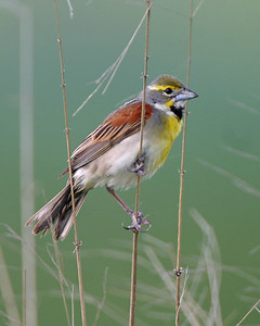 Dickcissel, Chinook Mine South, Clay County, Indiana, June 19, 2006