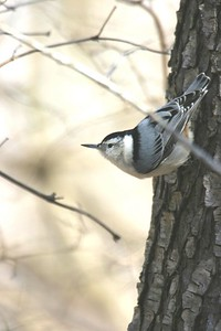 White Breasted Nuthatch, Hawthorne Park, Feb 19, 2005.