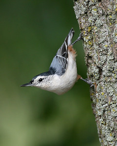White-breasted Nuthatch, LaSalle FWA, Newton County, Indiana, September 6, 2007.