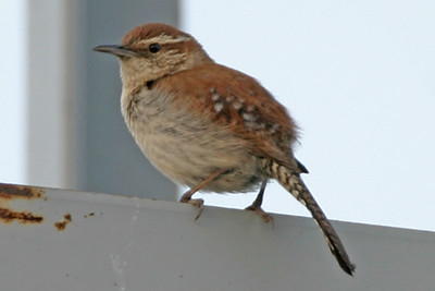 Bewick's Wren, Greencastle, Putnam County, Indiana, June 22, 2006.  Discovered by Clint Maddox, First Indiana record of a Bewick's Wren since 1997.