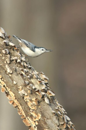 White Breasted Nuthatch, backyard, Terre Haute