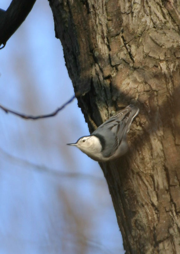 White Breasted Nuthatch, Terre Haute, Indiana Nov 29, 2004.