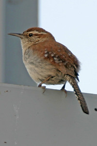 Bewicks Wren, Greencastle, Putnam County, Indiana, June 22, 2006.  Discovered by Clint Maddox.  First Bewicks Wren record in Indiana since 1997.