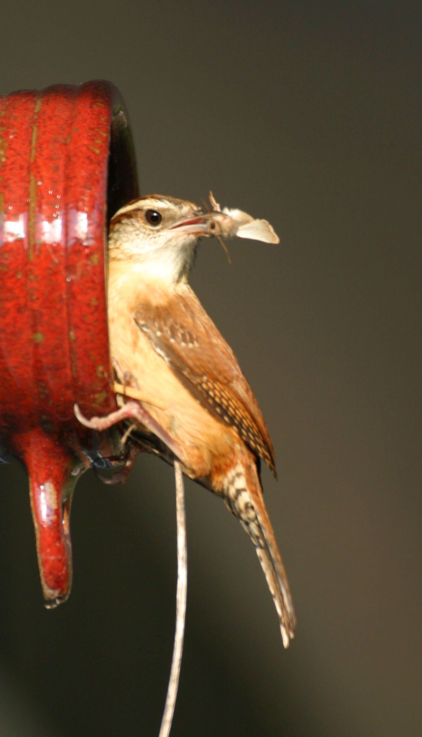 Carolina Wren, April 2005