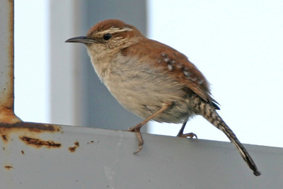 Bewick's Wren, Greencastle, Putnam County, Indiana, June 22, 2006.  Discovered by Clint Maddox.  First Indiana record of a Bewick's Wren since 1997.