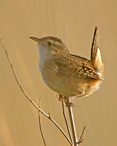 Sedge Wren, Taltree Arboretum and Gardens, Porter County, Indiana, June 13, 2006.  Tallied nine Sedge Wrens on the Taltree property an hour before sunset.  The Sedge Wren is currently on the Indiana Endangered List.