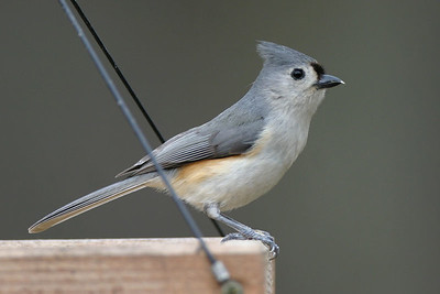 Tufted Titmouse, March 11, 2006.