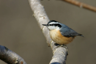 Red Breasted Nuthatch, Chinook Mine, Feb 19, 2006.