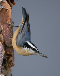 Red-breasted Nuthatch on River Birch Tree.  Front yard, NE Vigo County, Indiana, November 11, 2007.