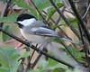 Black-capped Chickadee, Tefft Savannah, Jasper Pulaski FWA, Indiana, October 9, 2007
