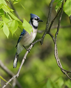 Blue Jay in Shellbark Hickory Tree, NE Vigo County, Indiana, May 6, 2007.