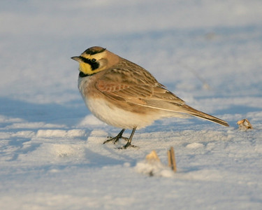 Horned Lark along roadside on State Road 421, Pulaski County, Indiana, February 26, 2008.  Hundreds of Larks were seen along the snow plowed roadway from Wanatah to Brookston.
