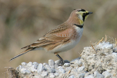 Horned Lark, Jasper County, Indiana, March 1, 2006.