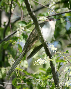 Black-billed Cuckoo, Chinook Mine, May 16, 2008.