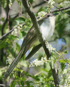 Black-billed Cuckoo, Chinook Mine, May, 16, 2008.
