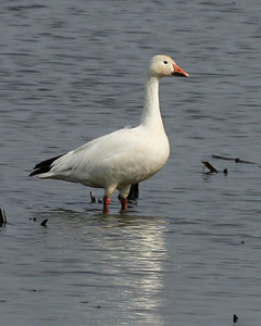 Snow Goose, Kankakee Fish and Wildlife Area, March 13, 2007.
