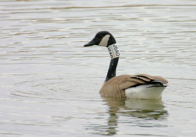 Canadian Goose, J6A0, JI Case Wetlands, Terre Haute, IN, Feb 19, 2005.
