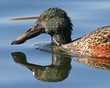 Male Northern Shoveler, Brazil Lagoons, 2006.