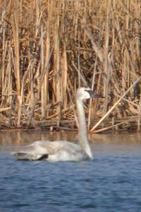 Juvenile Trumpeter Swan, Universal Mine, January 14, 2006.