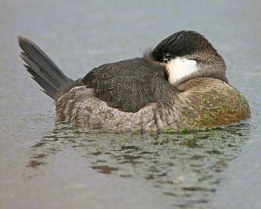 Ruddy Duck resting, Brazil Lagoons, November 17, 2006.