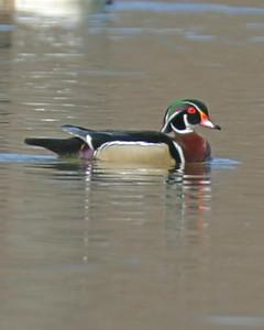 Wood Duck, Hawthorne Park, Terre Haute, Indiana, April 5, 2006.