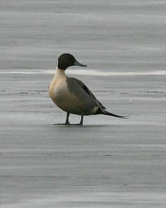 Northern Pintail standing on ice, Brazil Lagoons, Clay County, Indiana, March 9, 2007.