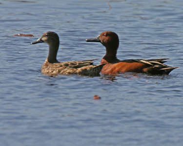 Male Cinnamon Teal (right), Female Blue Wing Teal (left), Memorial Park, LaPorte, LaPorte County, Indiana, April 10, 2006.
