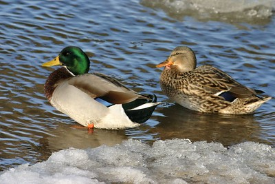 Male and Female Mallards, Michigan City, Indiana, marina, Dec 21, 2004.