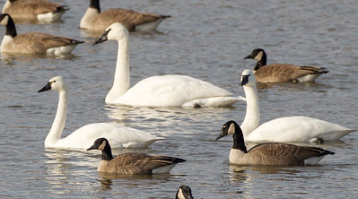 Tundra Swans (foreground), Trumpeter (background)