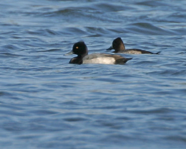 Male and Female Lesser Scaup, Brazil Lagoons, October 28, 2006.