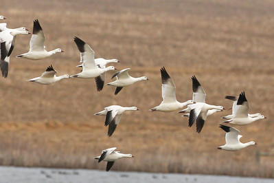34 Ross's Geese, Former Chinook Mine north of I-70, Vigo County, Indiana, March 11, 2012.