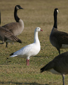 Ross's Goose, Brazil Lagoons, January 7, 2006.