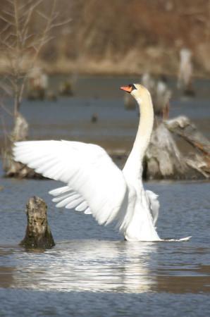 Mute Swan, JI Case Wetlands, Feb 17, 2005.