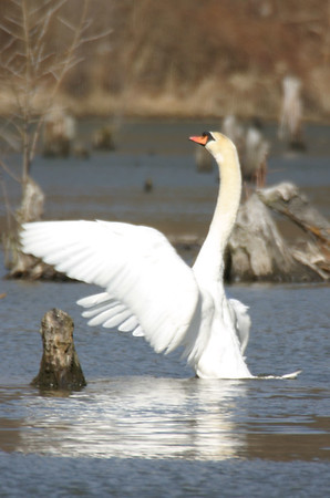 Mute Swan, JI Case Wetlands, Feb 17, 2005.